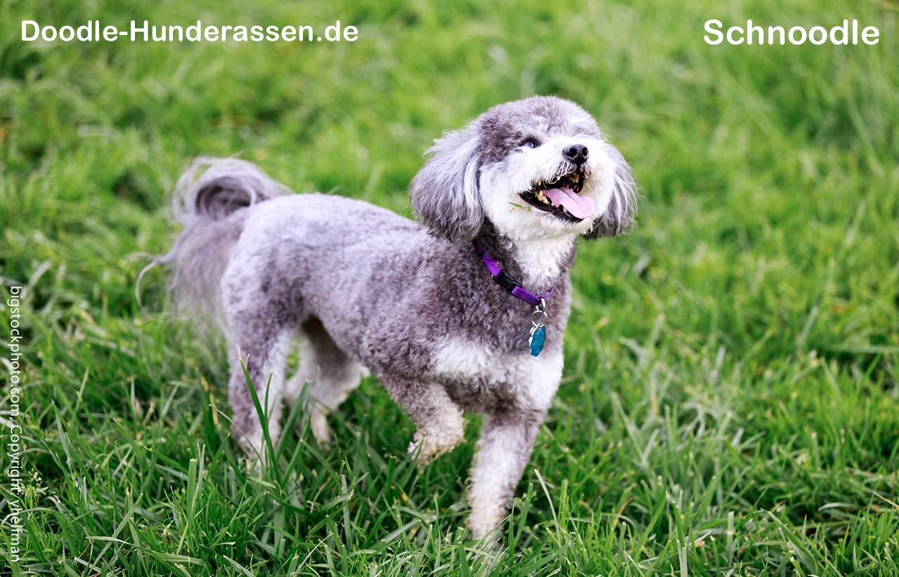 Schnoodle Hund