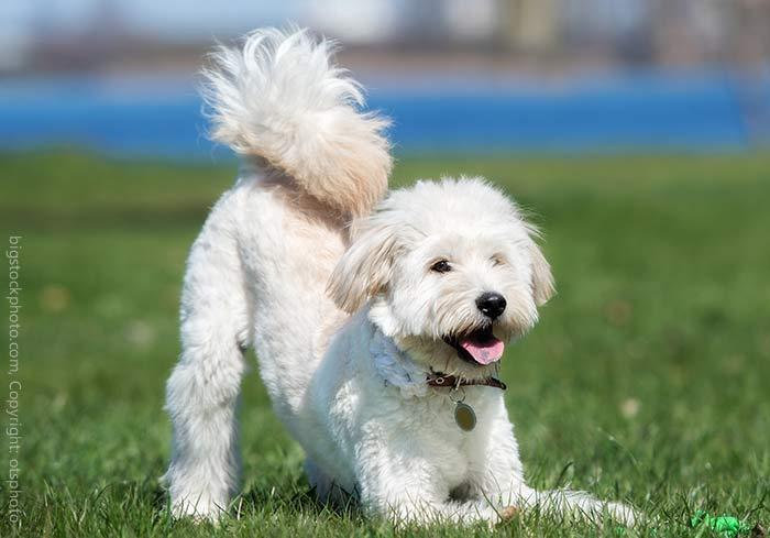 Hundeportraits Doodle Hybrid Hunde