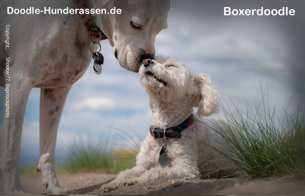 Boxerdoodle