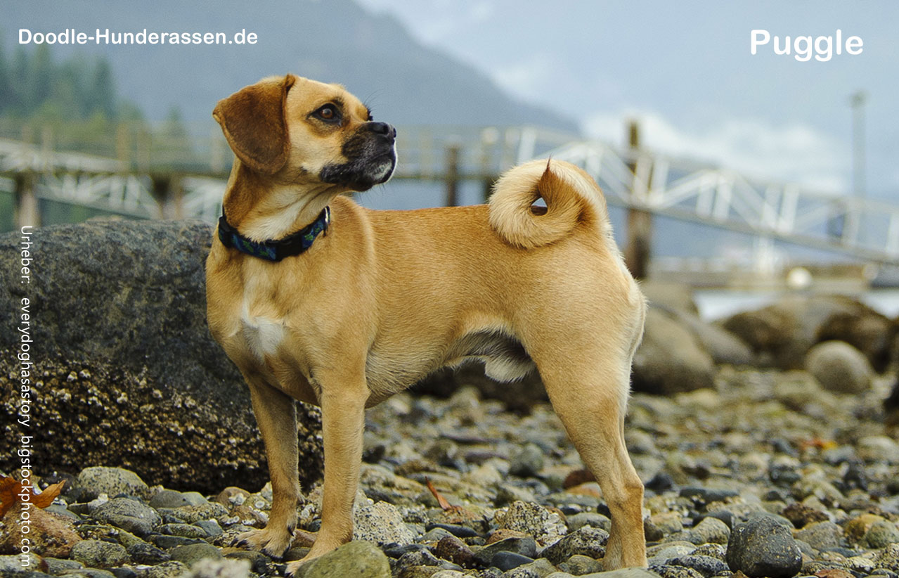 Puggle Hunde