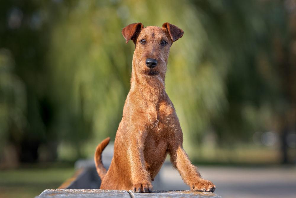irish dog portrait